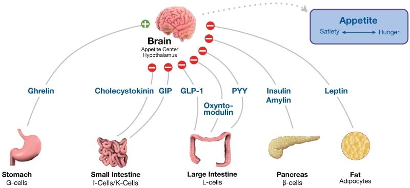 Food-Related-Hormones