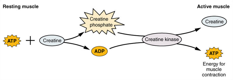 Creatine-Phosphate-Usage